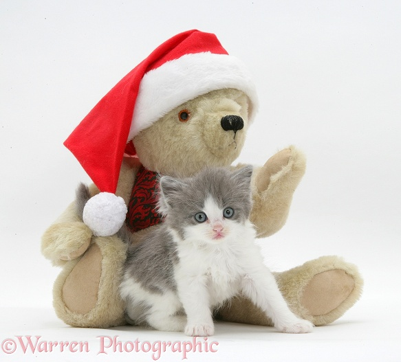 Grey-and-white kitten with teddy in Santa hat, white background