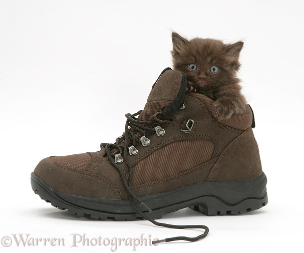 Chocolate kitten in a shoe, white background
