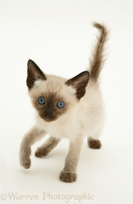 Seal-point Siamese kitten, white background