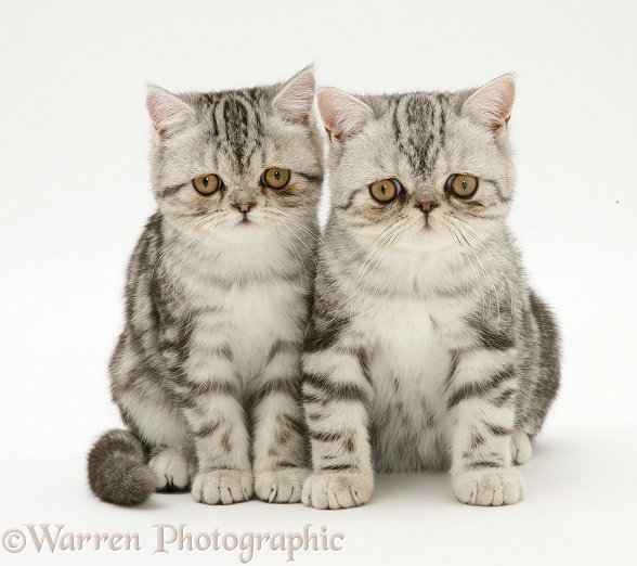Silver tabby Exotic cats, white background