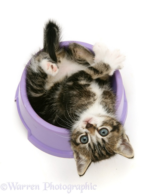 Tabby kitten lying upside-down in a food bowl, white background