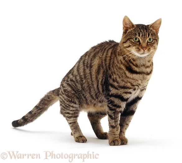 Brown tabby cat defecating on the floor, white background
