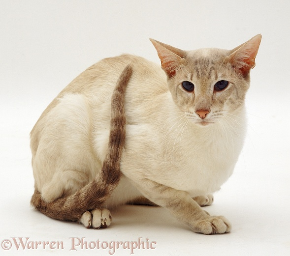 Lilac Tabby-point Siamese male cat
