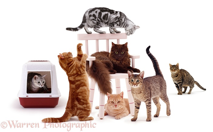 Seven cats on and around a chair, white background