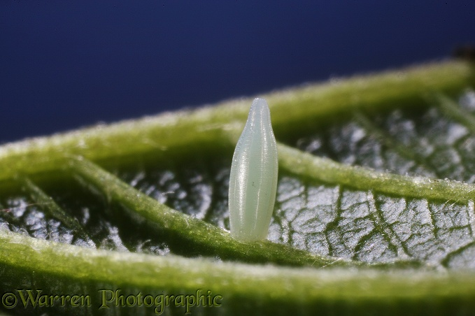 Brimstone egg