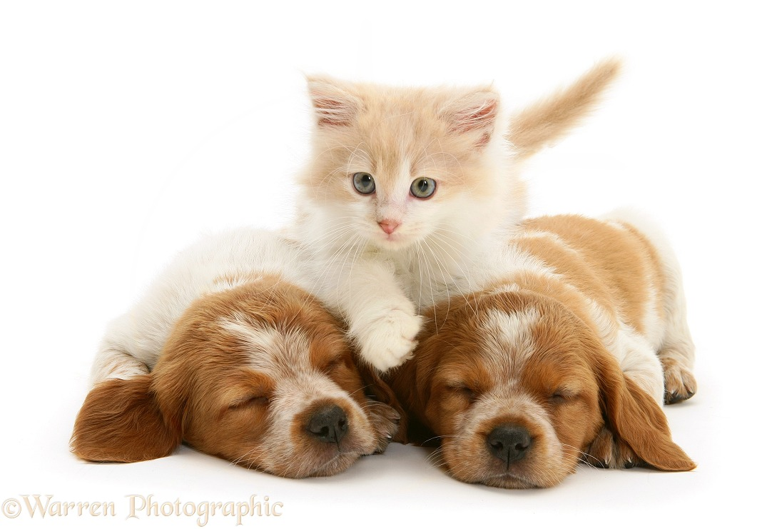 Ginger-and-white Persian-cross kitten Thomson between two sleeping Brittany Spaniel pups, white background