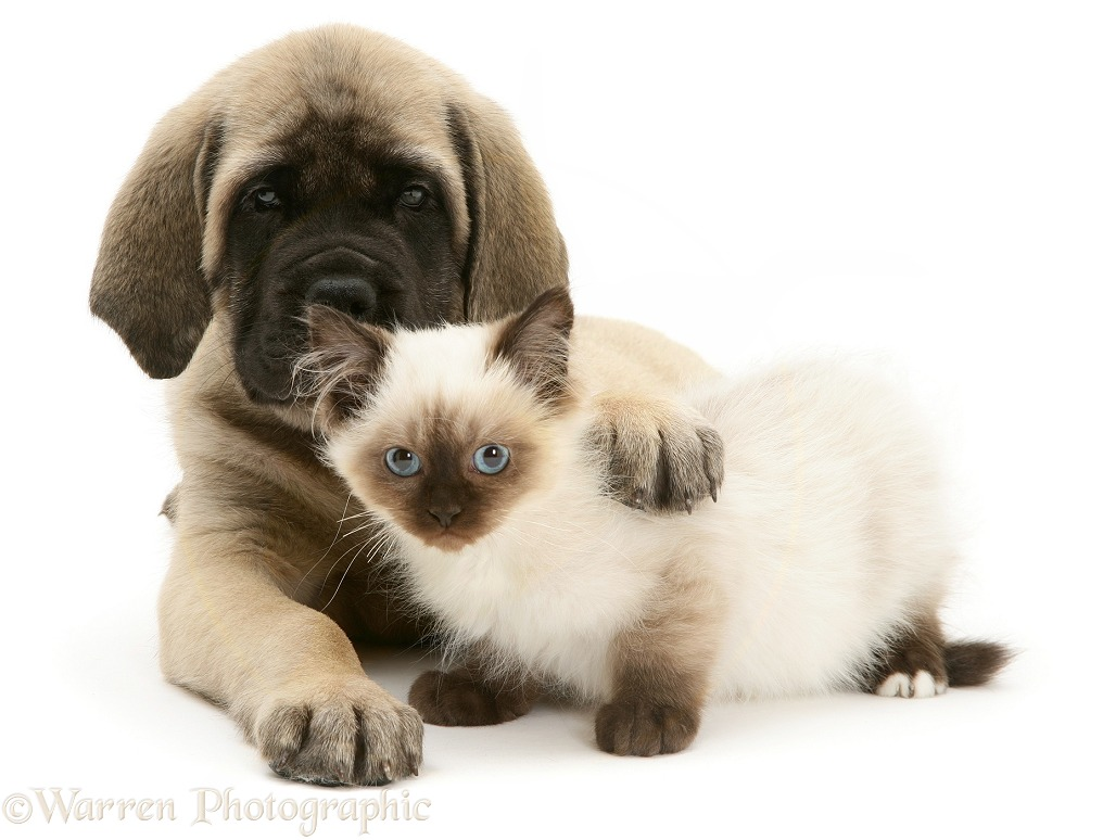 English Mastiff pup with young Birman-cross cat, white background