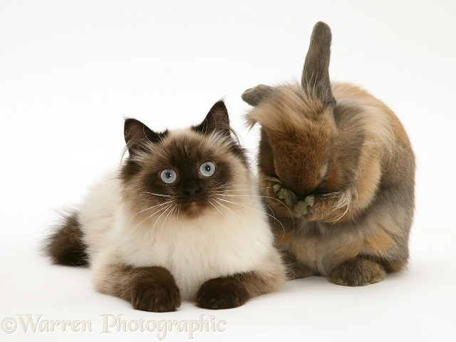 Young Birman-cross cat with Dwarf Lionhead x Lop rabbit, washing himself, white background