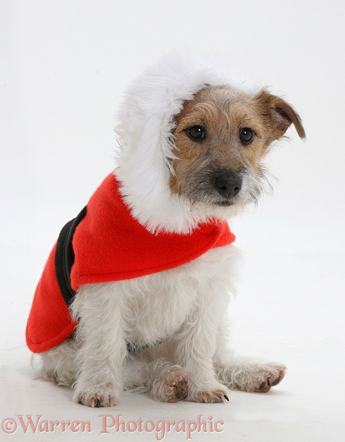Jack Russell Terrier Buttercup with a red Christmas coat on, white background