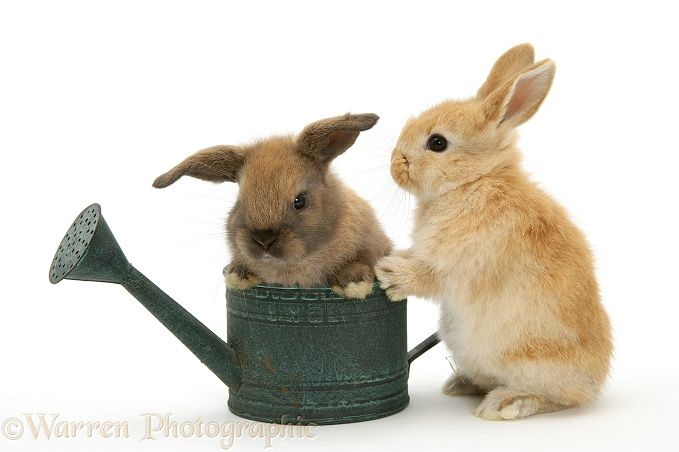 Baby rabbit in a watering can, white background