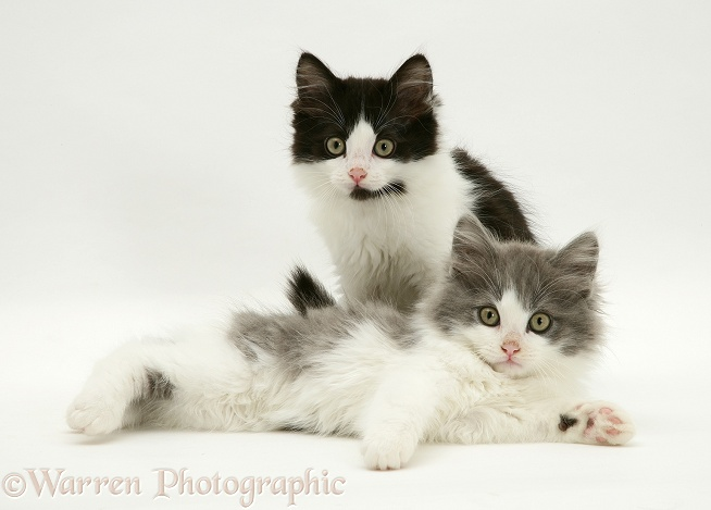 Persian cross black-and-white and blue-bicolour Nancy kittens, white background
