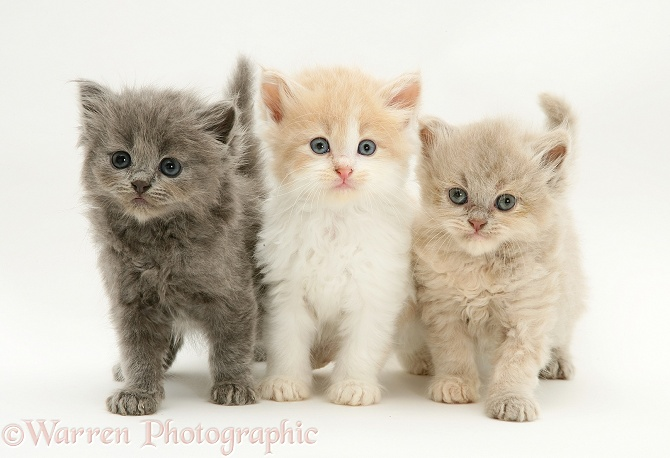 Blue, Ginger-and-white, and lilac Persian-cross Thomasina kittens, white background