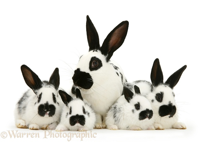 English spotted buck rabbit with four of his babies, white background