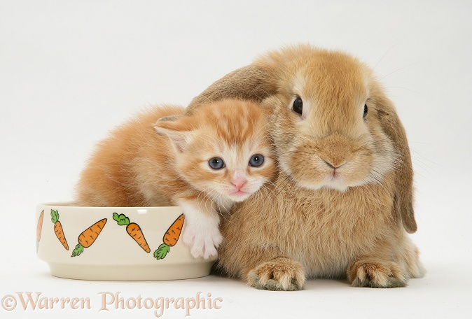 Ginger kitten with a young Sandy Lop rabbit; kitten in the rabbit's food bowl, white background