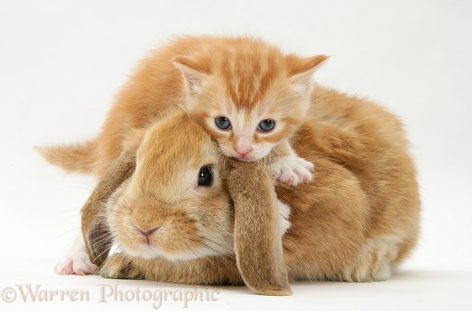 Ginger kitten with a young Sandy Lop rabbit, white background