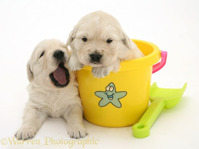 Yellow Retriever puppy in a plastic bucket and another lying beside and yawning, white background