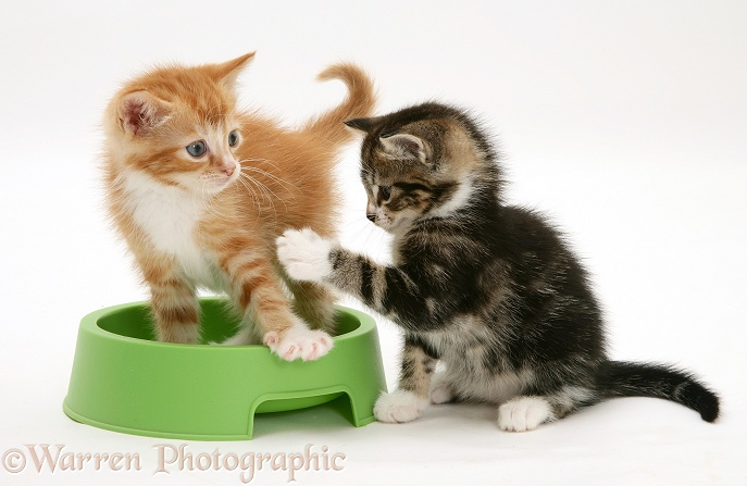 Tabby and red tabby kittens in a food bowl, white background