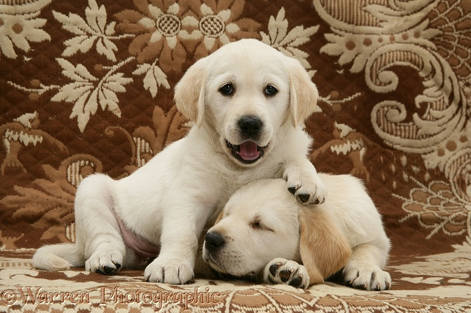 Sleepy Goldador Retriever pups (Golden Retriever x Labrador Retriever) pups