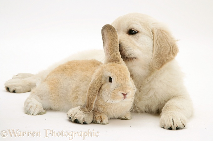 Golden Retriever pup with young Sandy Lop rabbit, white background