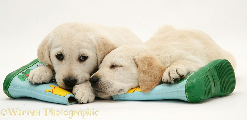 Sleepy Yellow Goldador Retriever pups lying on a child's wellington boots, white background
