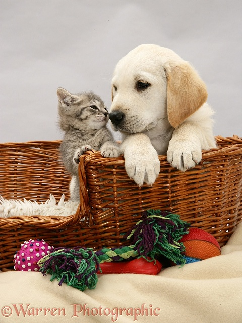 Yellow Labrador Retriever pup and blue tabby kitten, both 7 weeks old, in a basket