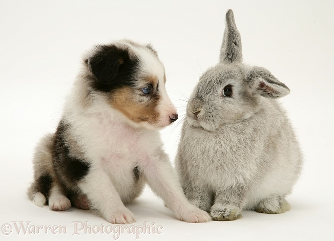 Tricolour Shetland Sheepdog pup with young silver Lop rabbit, white background