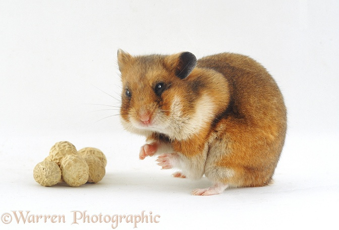 Golden or Syrian Hamster, with cheek pouches stuffed with whole peanuts, white background