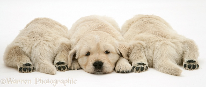 Golden Retriever pups asleep, two back view, hind paws outstretched, white background