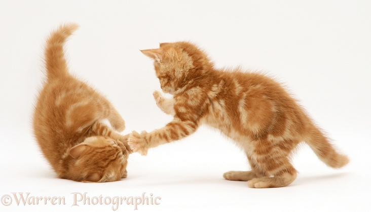British shorthair red tabby kittens playing, white background