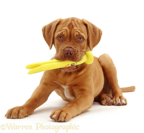 Dogue de Bordeaux pup, Troy, 15 weeks old, with a plastic toy, white background