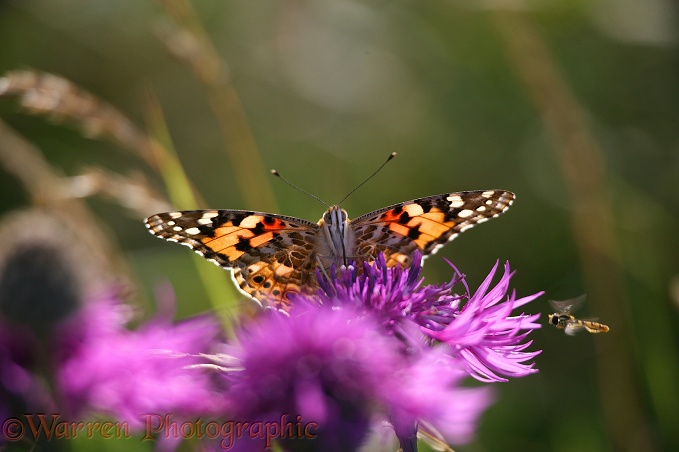Painted Lady Butterfly (Cynthia cardui) on Knapweed.  Worldwide