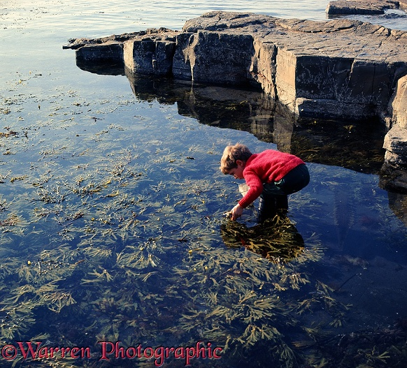 Mark, aged 5, discovering things among Bladder Wrack during low tide at Kimmeridge, southern England