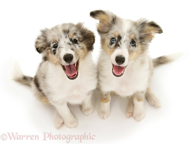 Shetland Sheepdog pups sitting and looking up, white background