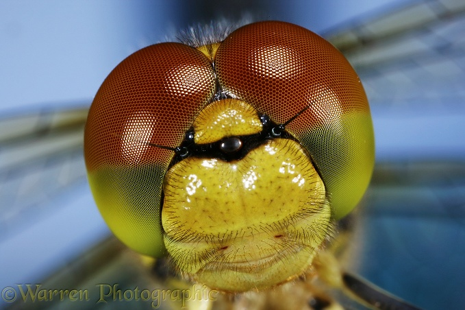 Common Darter Dragonfly (Sympetrum striolatum) newly emerged adult portrait