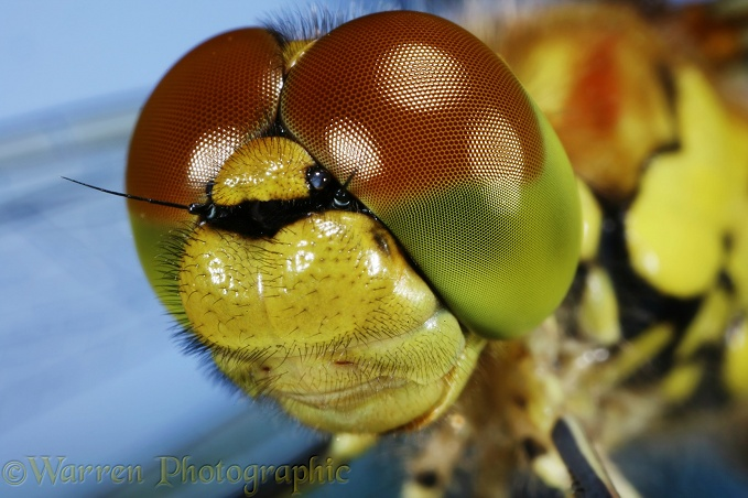 Common Darter Dragonfly eyes