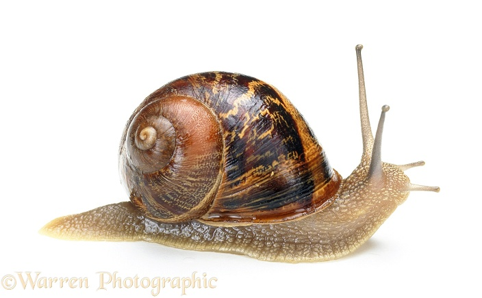 Garden Snail (Helix aspersa), white background