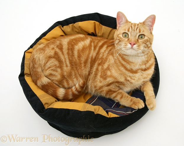Ginger cat, Benedict, 15 months old, in a cat bed, white background