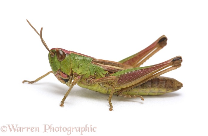 Meadow Grasshopper (Chorthippus parallelus) brachypterous female.  Europe, white background