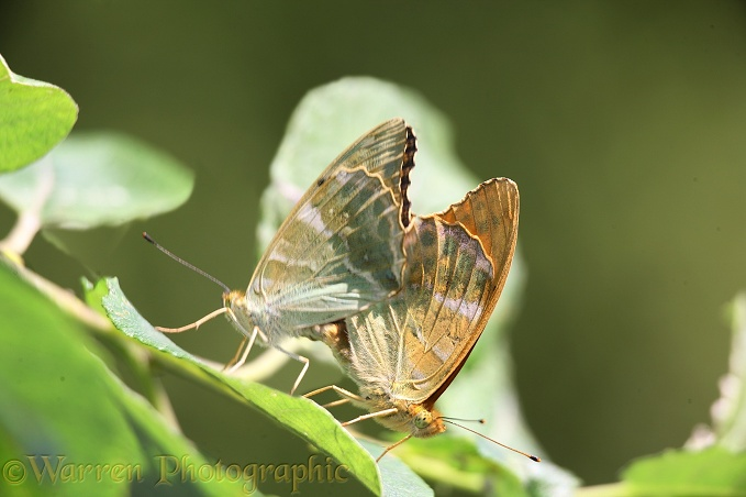 Silver-washed Fritillary (Argynnis paphia) mating pair.  Europe