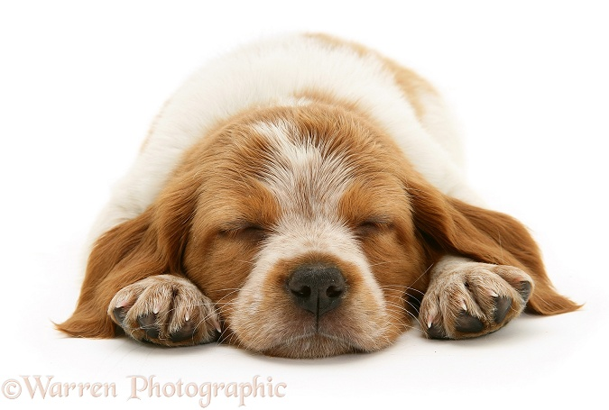 Sleeping Brittany Spaniel pup, white background