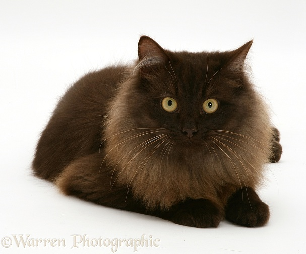 Image result for fluffy brown cat with yellow eyes