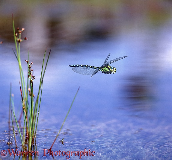 Southern Hawker Dragonfly (Aeshna cyanea) male in flight.  Europe