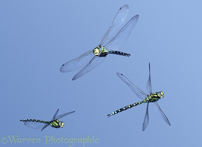 Southern Hawker Dragonfly (Aeshna cyanea) male in flight, 3 images showing level flight banking and turning.  Europe