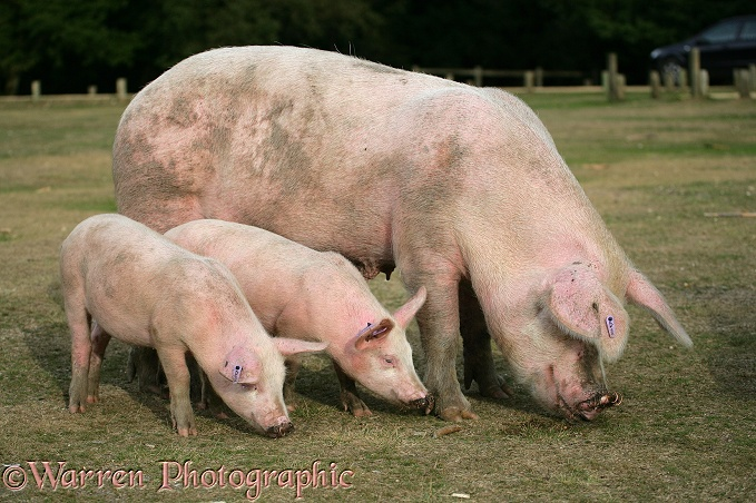 Pig and piglets.  New Forest, England