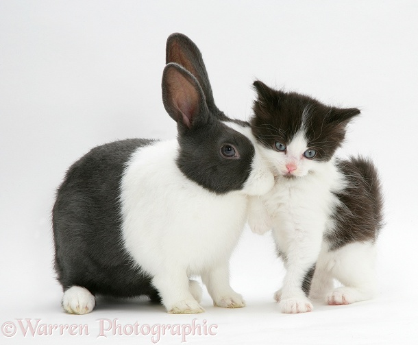 Black-and-white kitten with blue Dutch rabbit, white background