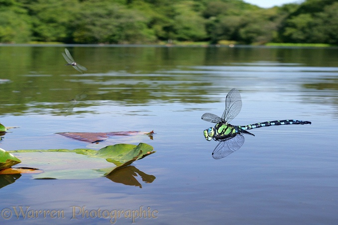 Southern Hawker Dragonflies (Aeshna cyanea) over Eyeworth Pond, New Forest.  Europe