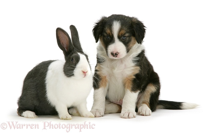 Tricolour Border Collie pup with blue Dutch rabbit, white background