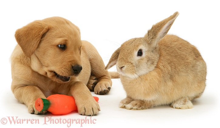Yellow Labrador Retriever pup with squeaky toy carrot and young sandy Lop rabbit, white background
