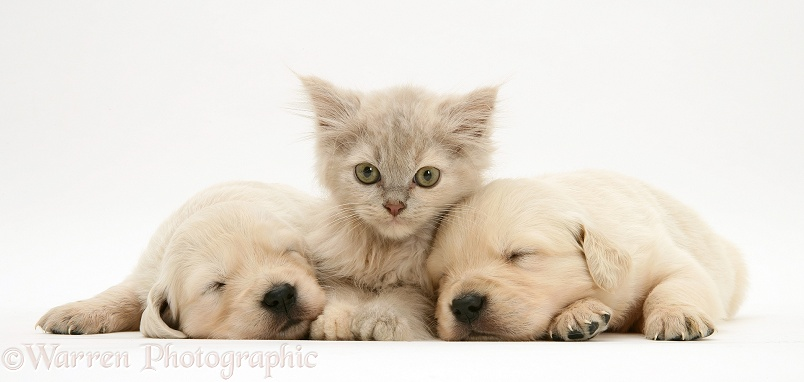 Lilac tortoiseshell kitten between sleeping Golden Retriever pups, white background
