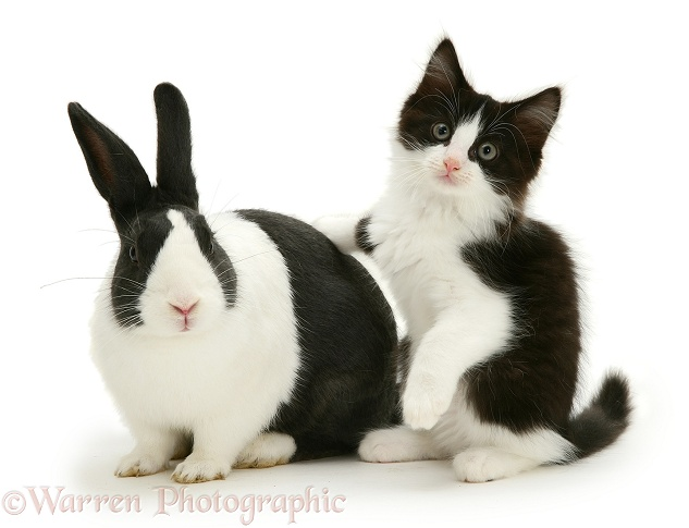 Black Dutch rabbit with black-and-white kitten Felix